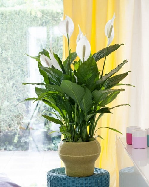 Types of Peace Lily