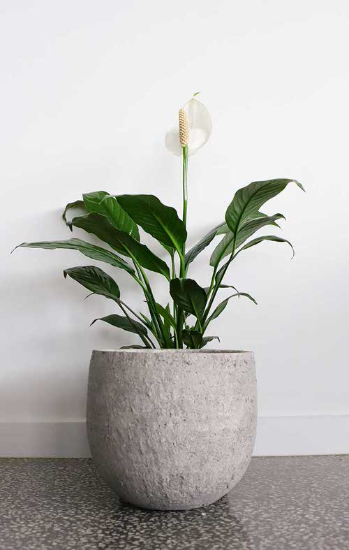 Types of Peace Lily 6