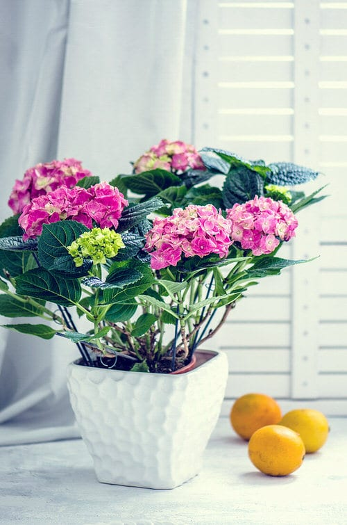 Pictures of Container Gardening with Hydrangeas 6