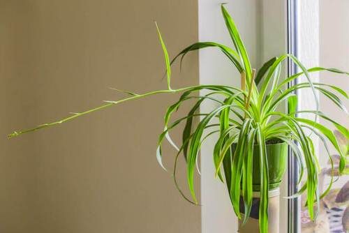 Awesome Spider Plant Pictures that Will Make You Its Super Fan 6