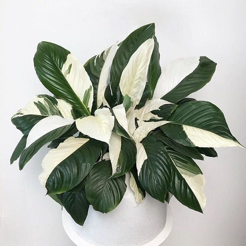 Types of Peace Lily 7