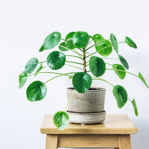 Chinese Money is a Perfect Tabletop House Plant 7