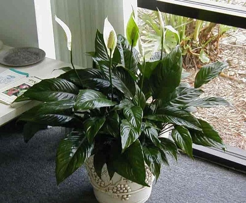 Types of Peace Lily 8