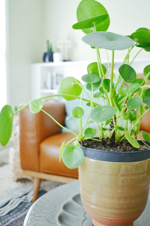 Chinese Money is a Perfect Tabletop House Plant 8