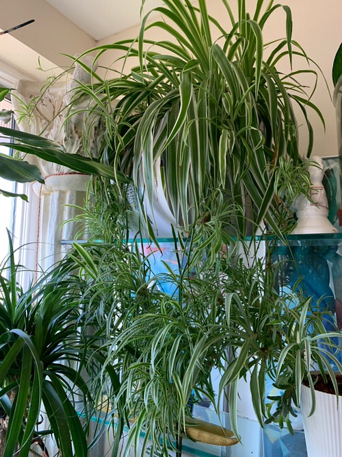 Awesome Spider Plant Pictures that Will Make You Its Super Fan 8