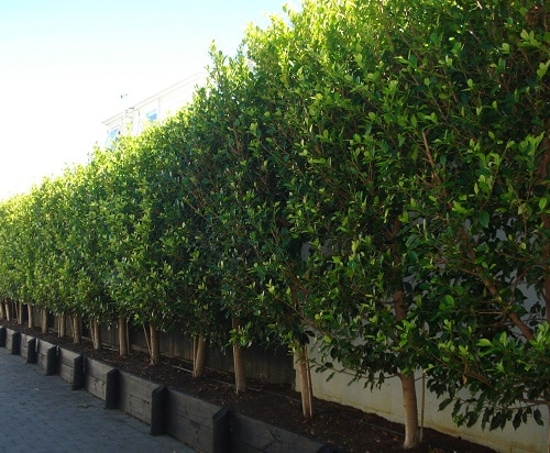 Plants You Can Grow Instead of a Fence for Privacy and Lush Green Look 8