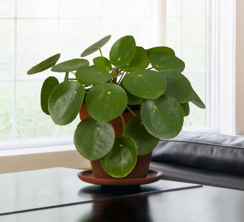 Chinese Money is a Perfect Tabletop House Plant 9