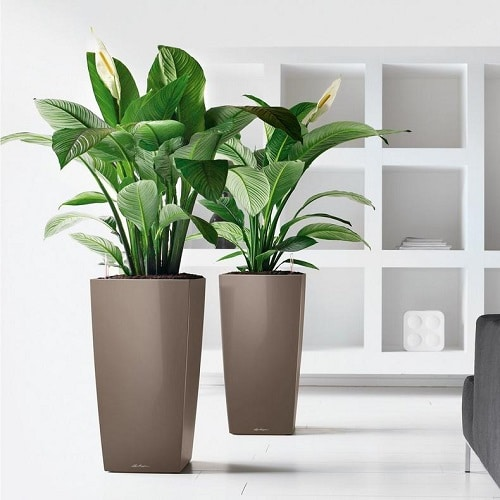 Types of Peace Lily 9