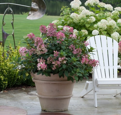 Pictures of Container Gardening with Hydrangeas 10