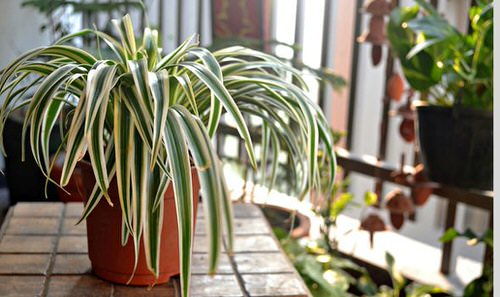 Awesome Spider Plant Pictures that Will Make You Its Super Fan 10