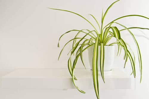 Awesome Spider Plant Pictures that Will Make You Its Super Fan