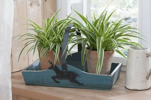 Awesome Spider Plant Pictures that Will Make You Its Super Fan 11