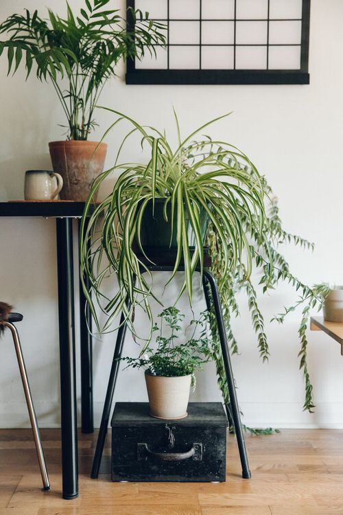 Awesome Spider Plant Pictures that Will Make You Its Super Fan 13