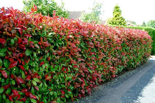 Plants You Can Grow Instead of a Fence for Privacy and Lush Green Look 2