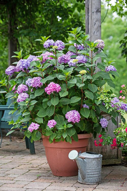 Pictures of Container Gardening with Hydrangeas 2