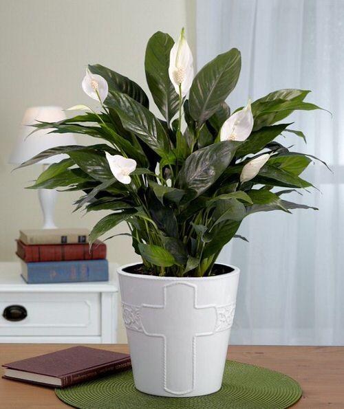 Types of Peace Lily 3
