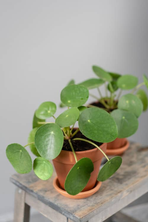 Chinese Money is a Perfect Tabletop House Plant 3