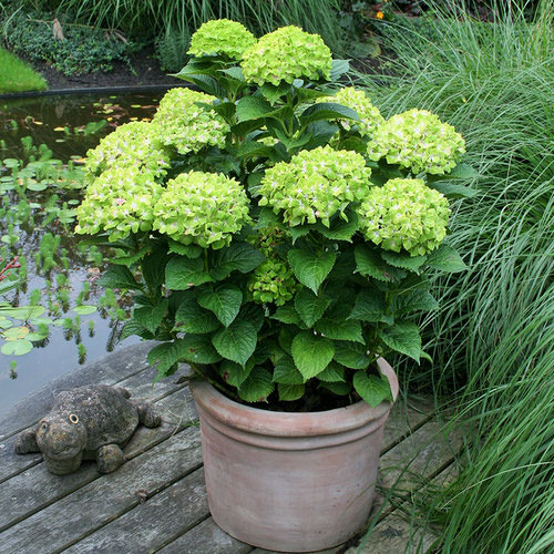 Pictures of Container Gardening with Hydrangeas 3