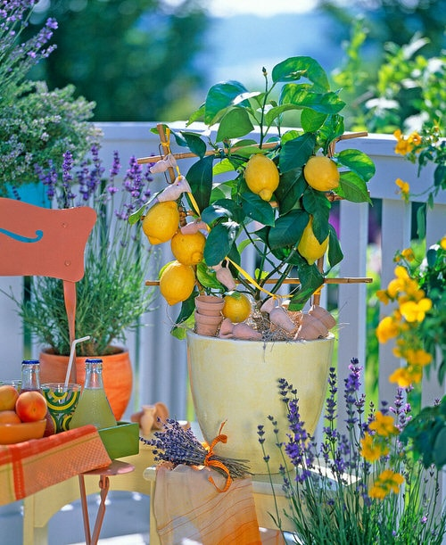 Essential Ingredients You Can Grow in Your Balcony for Powerful Tea 3