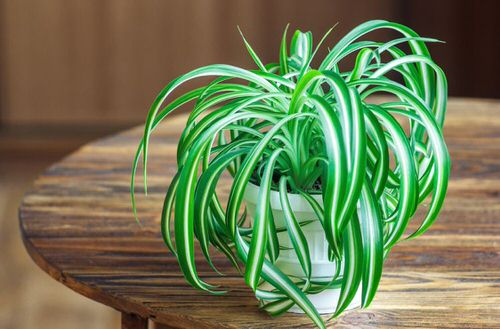 Awesome Spider Plant Pictures that Will Make You Its Super Fan 3