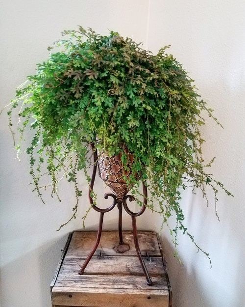 Indoor Plants with Fanciful Cut Foliage 12