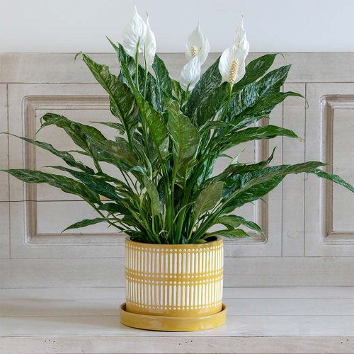 Types of Peace Lily 4
