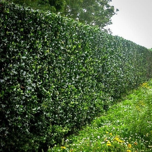 Plants You Can Grow Instead of a Fence for Privacy and Lush Green Look 4