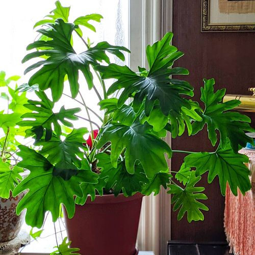 Indoor Plants with Fanciful Cut Foliage 15