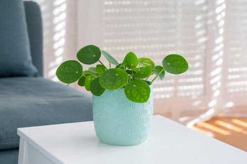 Chinese Money is a Perfect Tabletop House Plant 4