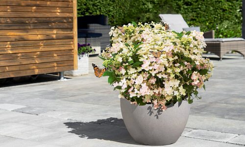 Pictures of Container Gardening with Hydrangeas 4