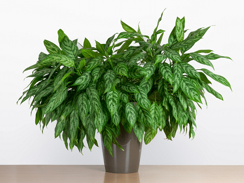Indoor Plants that are Literally Oxygen Bombs 4