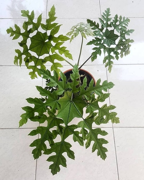 Indoor Plants with Fanciful Cut Foliage 44