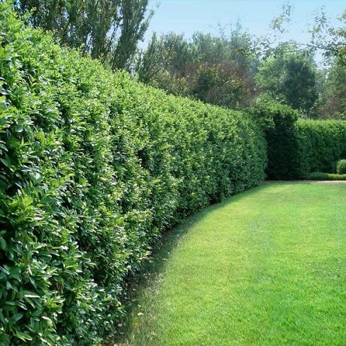 Plants You Can Grow Instead of a Fence for Privacy and Lush Green Look 5