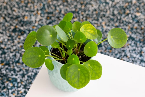 Chinese Money is a Perfect Tabletop House Plant 5