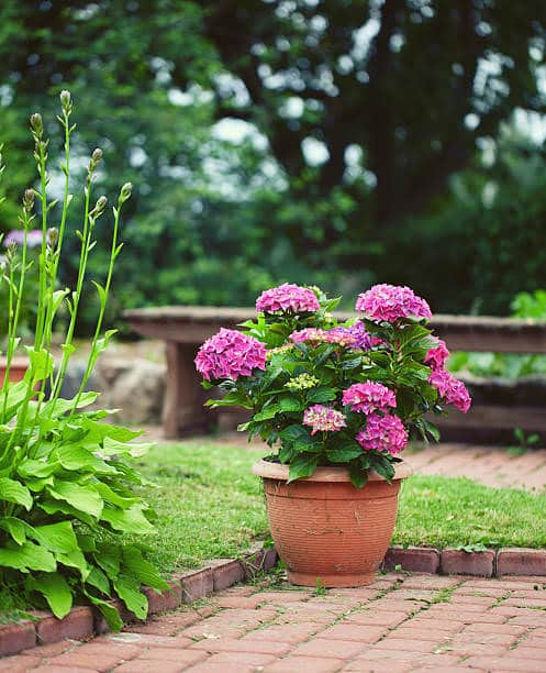 Pictures of Container Gardening with Hydrangeas 5