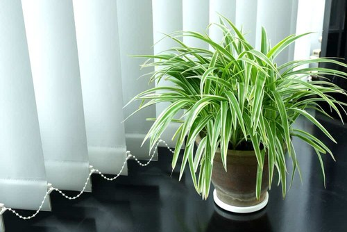 Awesome Spider Plant Pictures that Will Make You Its Super Fan 5