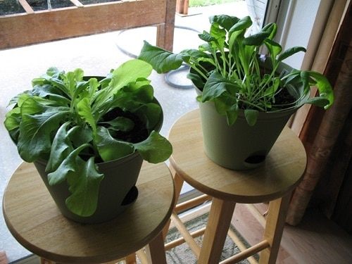 Things You Should Know to Grow Spinach Indoors 2