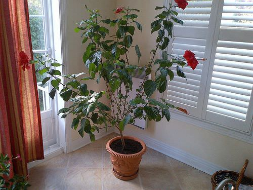 Fast Growing Indoor Plants that Grow Tall 7