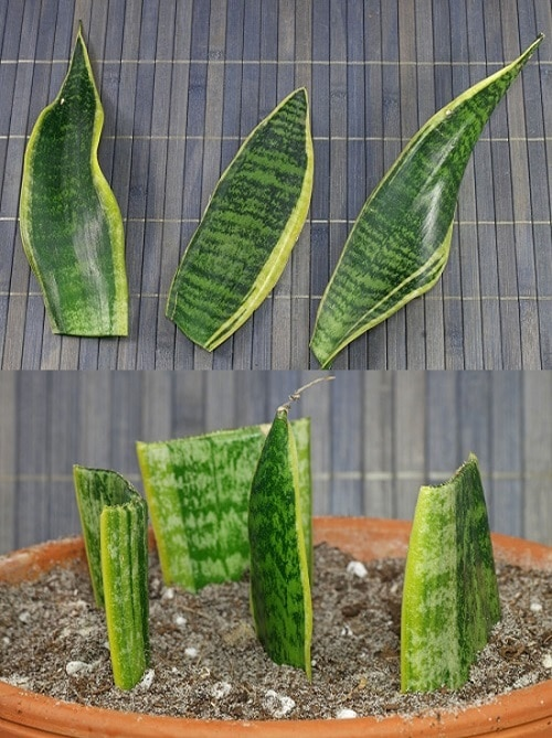 How to Grow Unlimited Snake Plants From Leaves 2