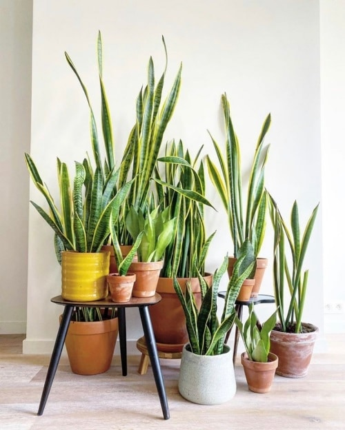 How to Grow Unlimited Snake Plants From Leaves