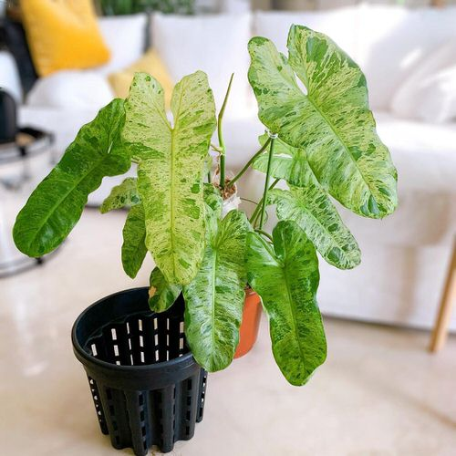 Exotic Philodendron Plants