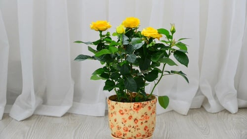 Pictures of Roses in Pots 6