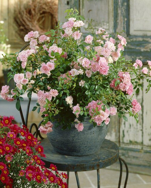 Pictures of Roses in Pots 7