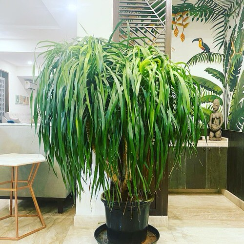 Best Dracaena Varieties for Indoors 6