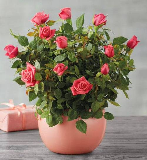 Pictures of Roses in Pots 9