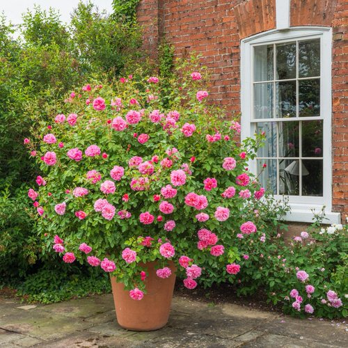 Pictures of Roses in Pots 11