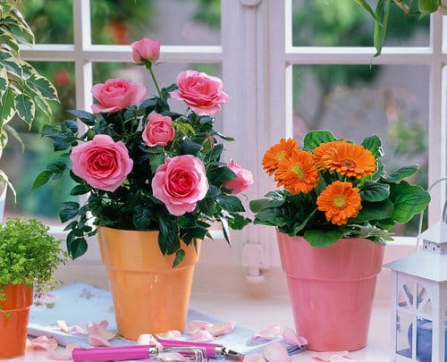 Pictures of Roses in Pots 12