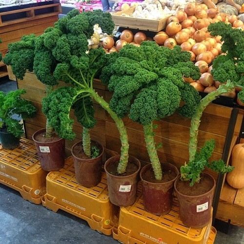 Container Vegetables that Magically Regrow Themselves 2