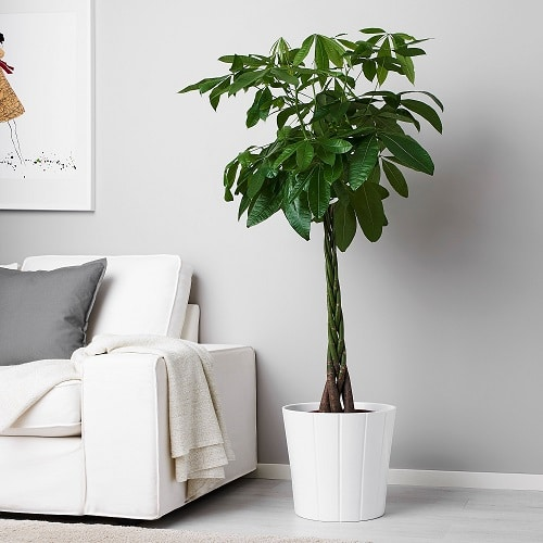 Types of Plants that are Called Money Plants 2