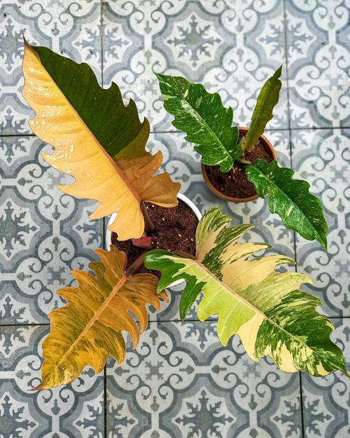Exotic Philodendron Plants 2